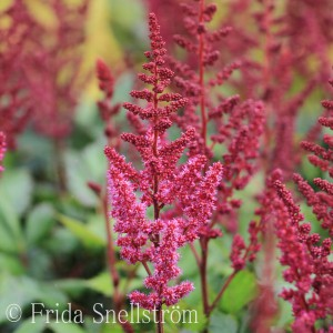 Astilbe Vision in Red