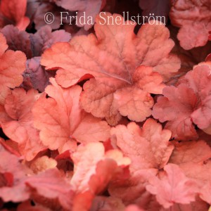 heuchera-autumn-leaves